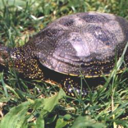 NATURE | La réintroduction en Alsace de la tortue cistude