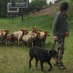 ENVIRONNEMENT   A Strasbourg, pour débroussailler, SNCF a recours... &agrave des moutons !