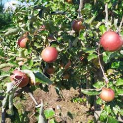 CONSO | La bonne santé de la filière pomme en Alsace